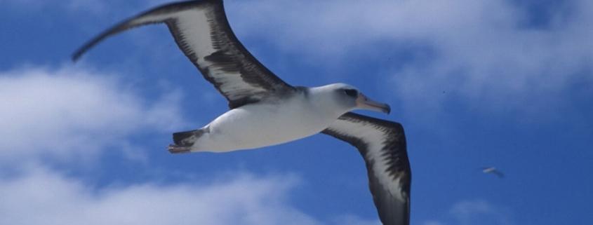 Airbus Albatross